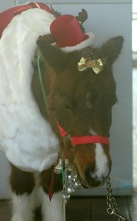 クリスマスバージョンのトミちゃん1.JPG
